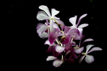 SingaporeOrchid.smaller